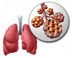 Pulmonary alveoli